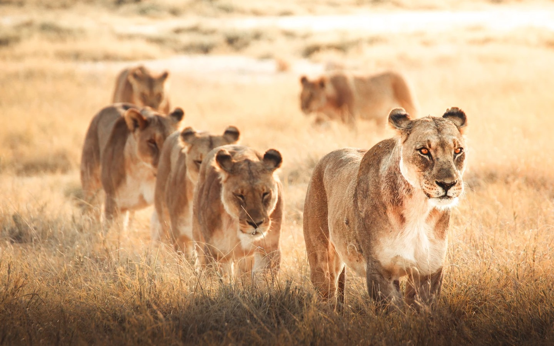 Lioness Pride' par @freeilli (Italie)freeilli