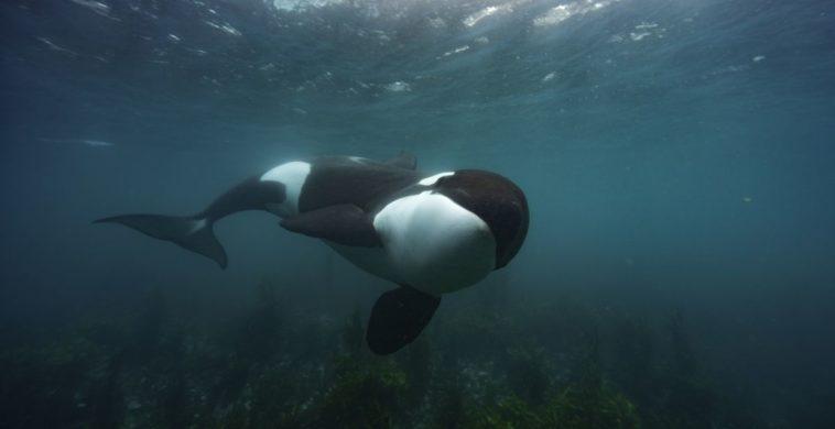 Secrets Of The Whales des orques dans le premier épisode