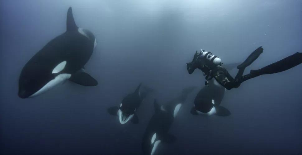 Brian Skerry plongeant avec les orques.