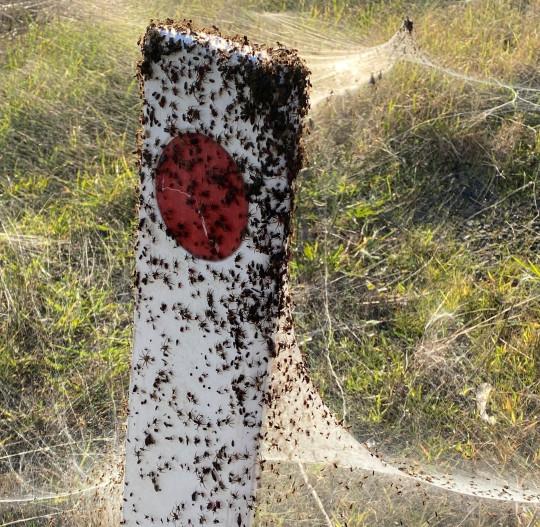 Une image fixe des médias sociaux montre des araignées rouges et noires et leur arachnide près des zones humides à Longford, Victoria, Australie, le 14 juin 2021. Photo prise le 14 juin 2021.