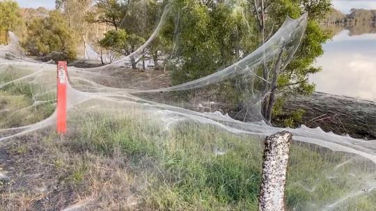 Une image fixe d'une vidéo sur les réseaux sociaux montre le gossamer des araignées près des zones humides à Gippsland, Victoria, Australie, le 14 juin 2021.