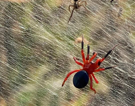 Une image fixe des médias sociaux montre l'araignée rouge et noire sur des gossamers près des zones humides à Longford, Victoria, Australie, le 14 juin 2021. Photo prise le 14 juin 2021.