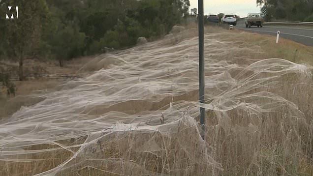 Des toiles recouvrent le sud de l'Australie alors que les araignées essaiment pour se mettre à l'abri des inondations
