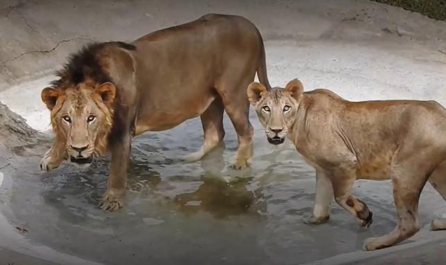 Lions au parc zoologique d'Arignar Anna, où une lionne de neuf ans est décédée après avoir été testée positive pour le SRAS-CoV2, Chennai, Inde, mai 2021. (Flash d'information)