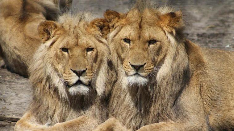 Un lion meurt du covid en Inde